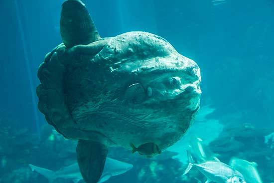 poisson-lune-oceanorium-lisbonne