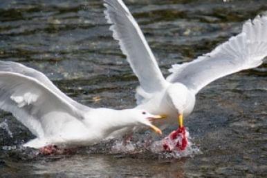 oiseaux-alaska