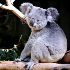 australie-koala- sur arbre brisbane