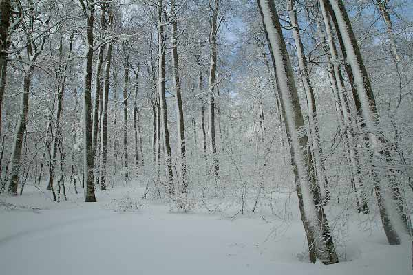ARBRES-sous-neige-vercors