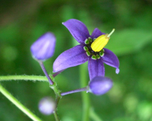 https://i2.wp.com/www.english-country-garden.com/a/i/flowers/woody-nightshade-3.jpg
