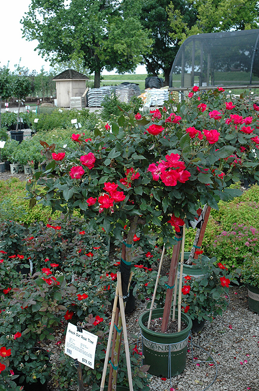 get knock out rose tree in mi at