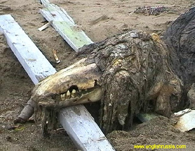 This creature was found by Russian soldiers on Sakhalin shoreline. Sakhalin area is situated near to Japan, it's the most eastern part of Russia, almost 5000 miles to East from Moscow (Russia is huge). People don't know who is it. According to the bones and teeth – it is not a fish. According to its skeleton – it's not a crocodile or alligator. It has a skin with hair or fur. It has been said that it was taken by Russian special services for in-depth studies, and we are lucky that people who encountered it first made those photos before it was brought away.