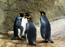 king-penguin-384252_960_720