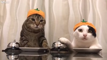 Cats wearing pumpkin hats ringing a bell for treats