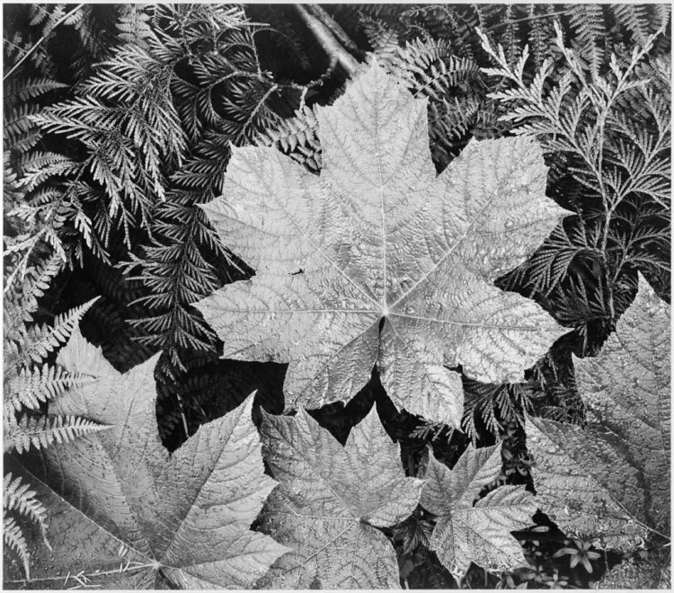 Close-up of leaves In Glacier National Park (1942)