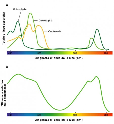 Spetro di assorbimento della luce e fotosintesi clorofiliana