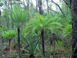 Cycads on the walking track. Image Credit: http://www.enjoy-darwin.com