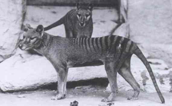 A pair of thylacines, male and female, in an American zoo, 1902