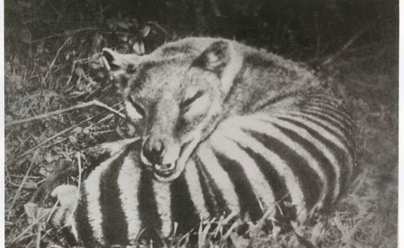 A thylacine. Flickr: Tasmanian Archive and Heritage Office