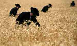 Judíos ortodoxos cosechando trigo antes de Shavuot