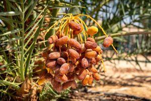 Investigadores del Instituto Arava en el Kibbutz Ketura cosecharon dátiles de palmeras cultivadas a partir de semillas de 2 mil años