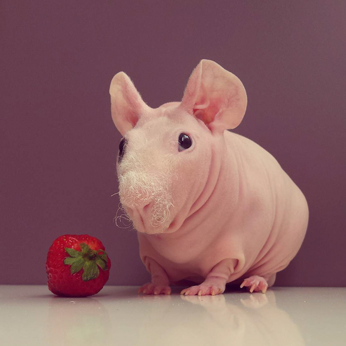 naked-guinea-pig-food-photoshoot-ludwik- pose nu