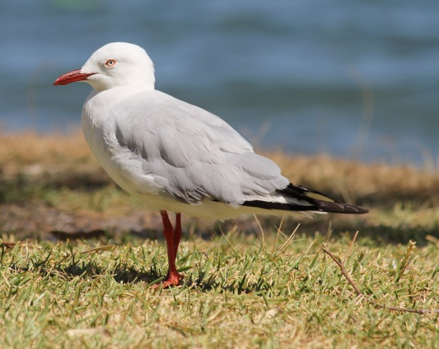 Close up of a seagull on grass in front of Wangi Wangi Bay. Decidedly not overwhelmed by anything.