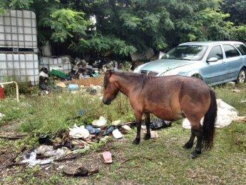 NS pony CASTAGNA nel terreno