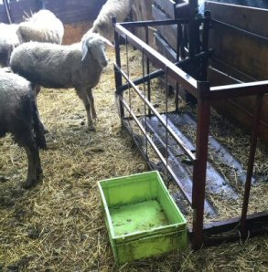 pecore no acqua_0635-NS