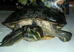 tartaruga-Enpa-NS-0028