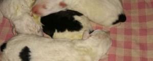 Cerchiamo cagnolina o balia umana per cuccioli da allattare