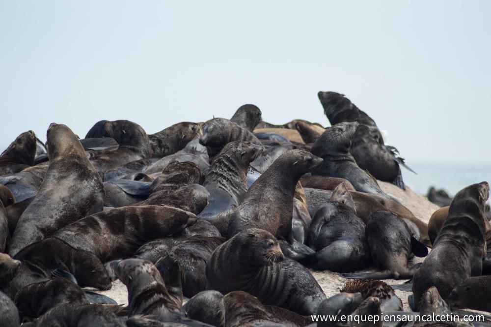 isla focas hout bay