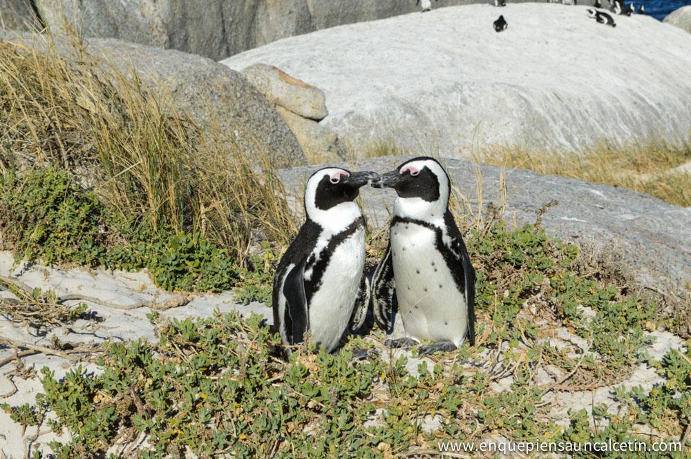 beso pingüinos