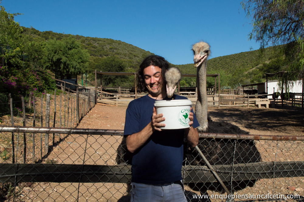 avestruces comiendo
