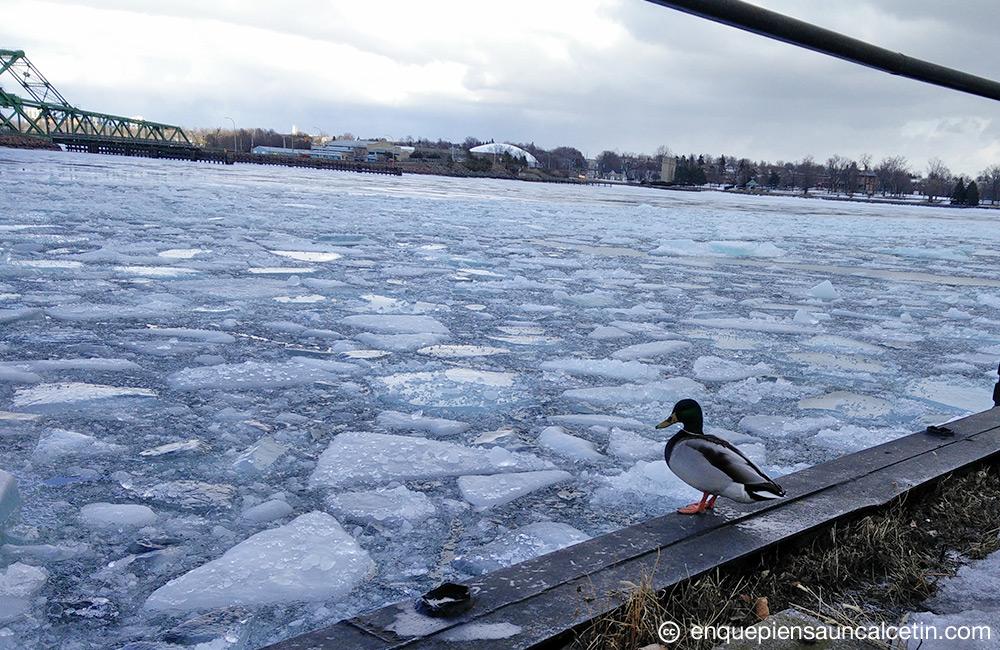 Pato mirando al hielo