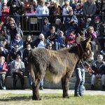 burros zamorano-leoneses valencia de don juan