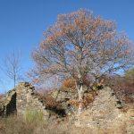 roble emerge en las ruinas de la iglesia oliegos