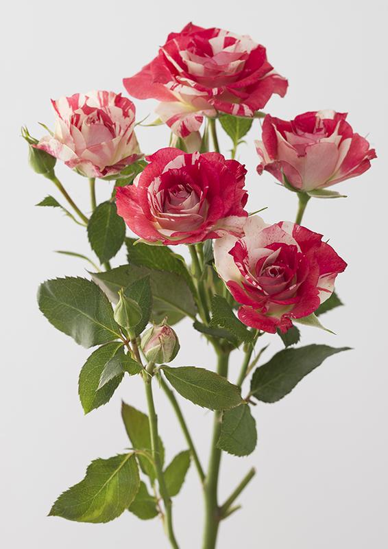 Pierre Joseph, Rose Harlequin, 2017 édition 1, photographie, impression inkjet Epson sur papier Epson mat 189g, 130 x 90 cm, contrecollé sur dibond