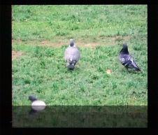 Jean Painlevé, Les pigeons du sqare, 1982 - On danse au Mucem