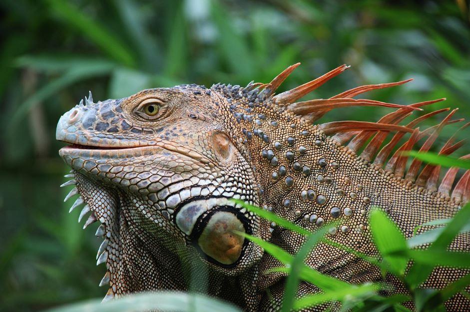patologías más comunes de iguanas en terrarios