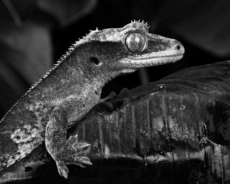 Localizar enfermedad y estrés en reptiles.  Guía