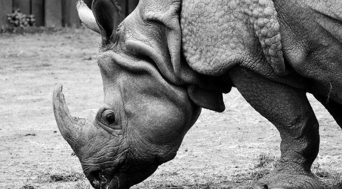 Imagen de rinoceronte Indio.