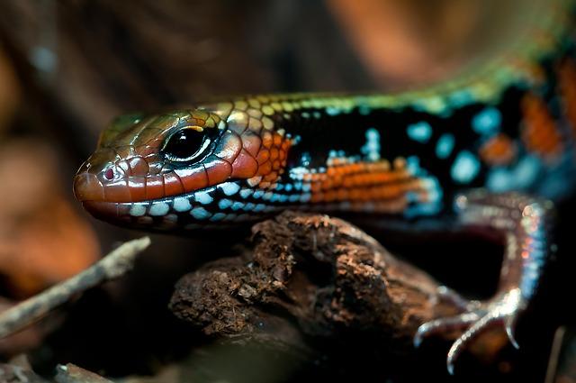 Localizar enfermedad y estrés en reptiles. Serpiente Splendor.