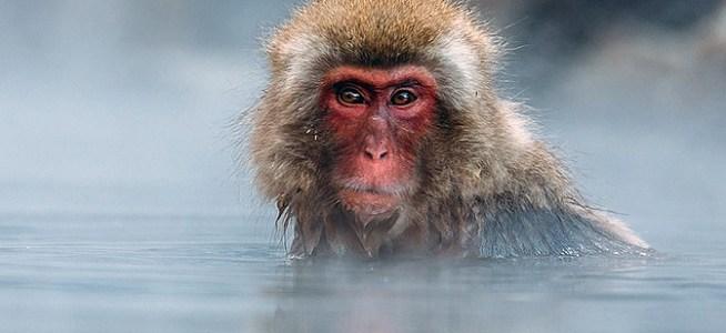 El lenguaje de los primates. Vocales y neuronas.