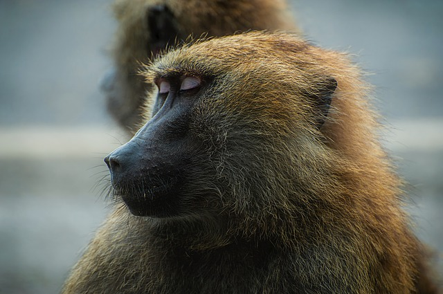 Babuino de Guinea. (Papio papio)