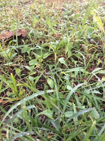 rocío sobre la hierba en la rosaleda de Roma