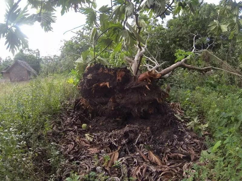 arbre-déraciné