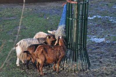 Des chèvres dans un parc