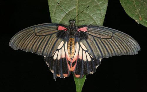 black moth butterfly wallpaper