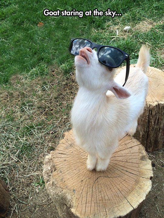 funny goat pics