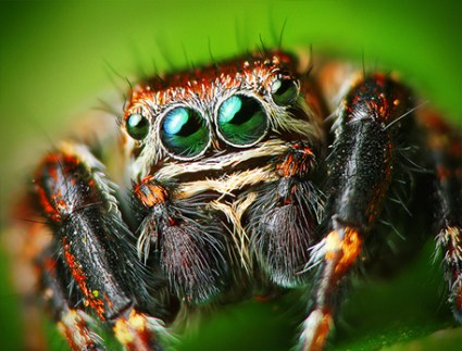 Male-jumping-spider