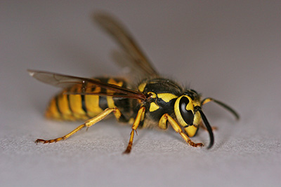 Yellow_jacket-wasp