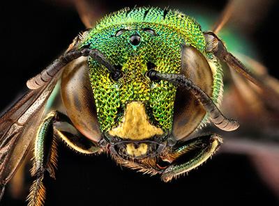 abeille-tropicale