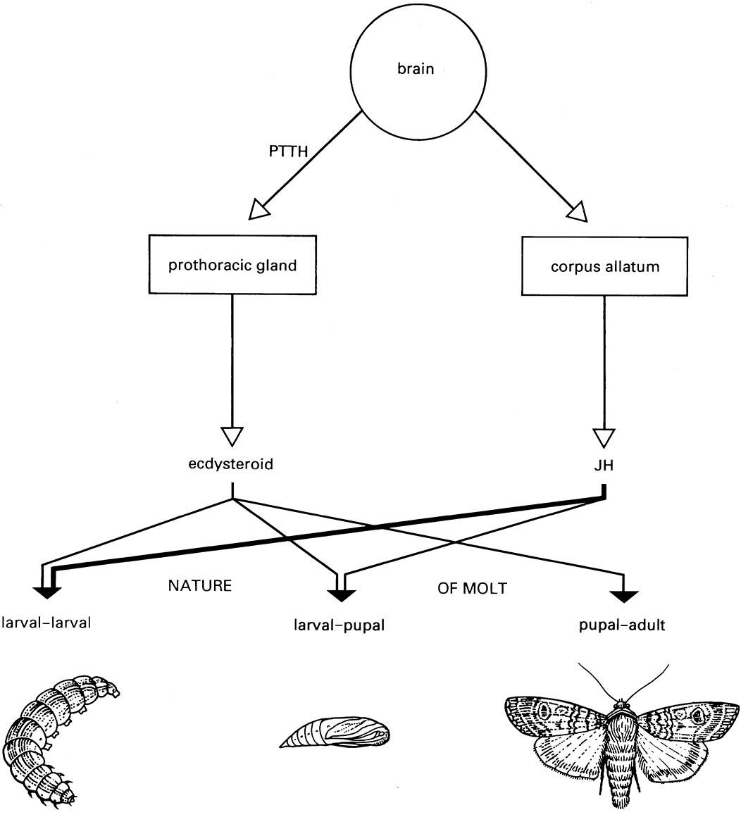 Process And Control Of Molting The Insects