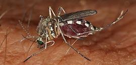 zanzara delle risaie