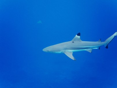 Moorea - requins