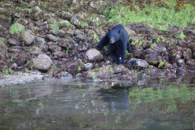 Tofino - Bear Watching