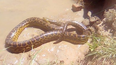 Photo of Apareció otra anaconda en la costa del Paraná