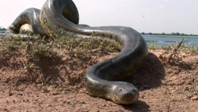 Photo of Advierten la presencia de anacondas en el río Paraná